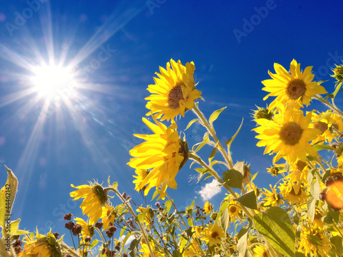 Photo  Sunflowers field