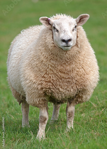 Tuinposter Schapen Fat woolly sheep