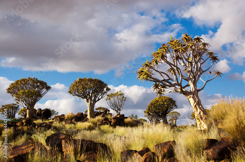 Poster Afrique du Sud Quiver tree forest. Kokerbooms in Namibia, Africa