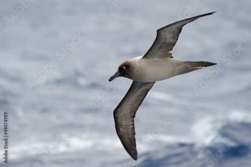 Fényképezés Light-mantled Sooty Albatross flying with ocean in background