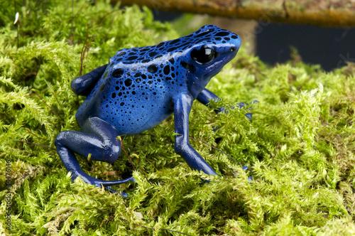 Tuinposter Kikker Blue poison dartfrog / Dendrobates azureus