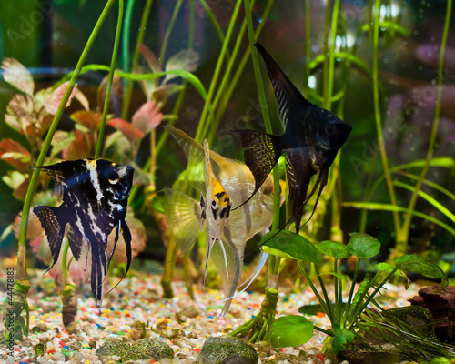 Papiers peints Recifs coralliens fish angelfish in a tropical fish tank with many plants