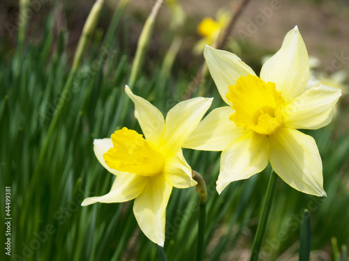 Garden Poster Narcissus narcis
