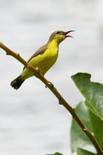 Olive Backed Sunbird - Female