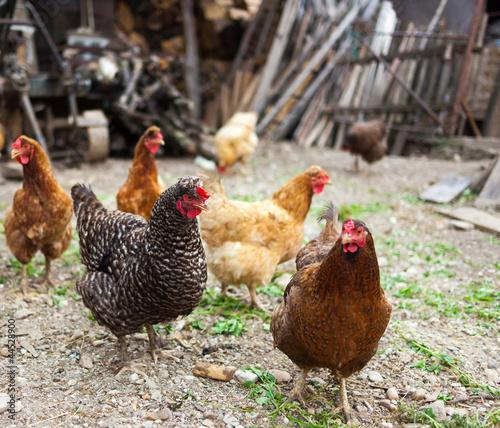 Keuken foto achterwand Kip Free range chicken