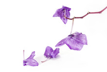 Faded Orchid