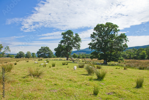 Foto op Canvas Olijf Sheep grazing on marshy plain between Loch Tay and confluence of
