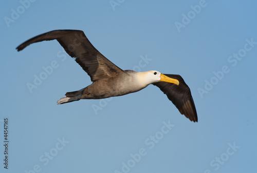 Fotografia, Obraz  Waved albatross in Galapagos