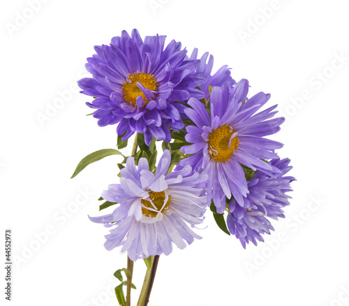 aster isolated Canvas Print