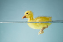 Small Duck Floating On Water