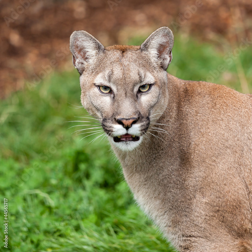 Staande foto Puma Head Shot Portrait of Beautiful Puma