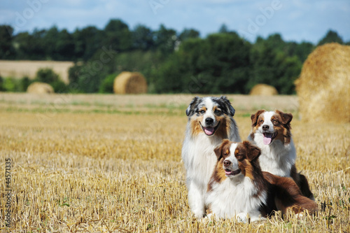 Carta da parati Three  ausralian shepherd dog at the countryside