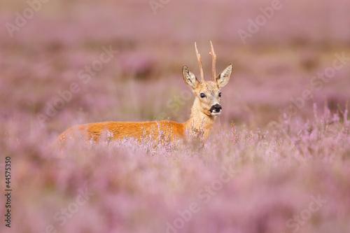 Garden Poster Roe roe deer