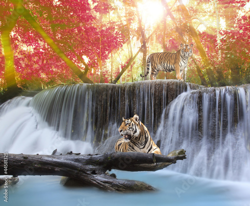 Foto auf AluDibond Tiger Tiger in the waterwall