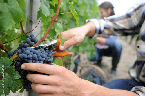 Wall Murals Vineyard Winemakers in cellar using electronic tablet