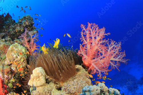 Poster Sous-marin Anemone and Soft Corals with clownfish on Red Sea reef