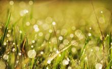 Autumn Grass With Dew