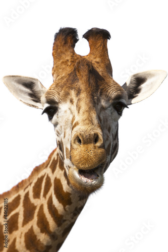 Poster Giraffe Giraffe head and neck isolated on white