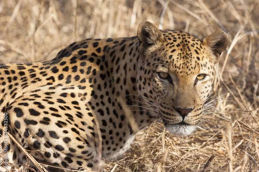 Leopard (Panthera pardus) im Porträt