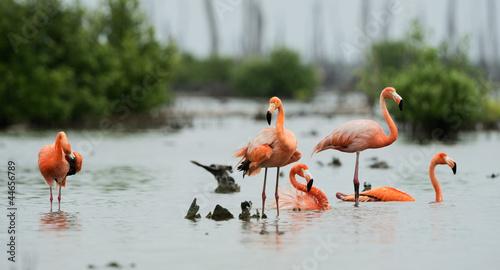 Caribean Flamingo bathing Wallpaper Mural