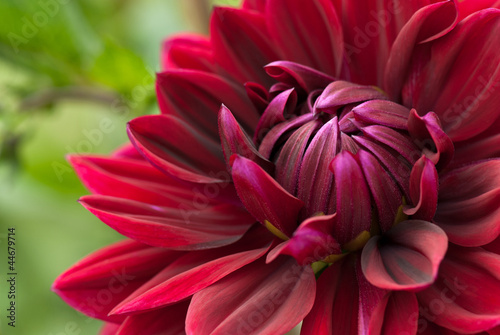 Blooming red dahlia