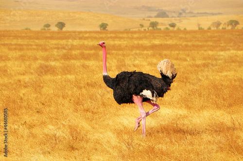 Foto op Canvas Struisvogel Male Ostrich Dancing