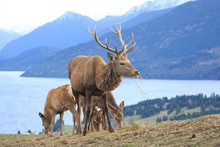 Reindeer Grazing Above Lake And Mountains