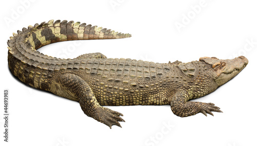 Foto op Canvas Krokodil Crocodile with clipping path included.