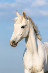 White Orlov trotter horse portrait on the sky background