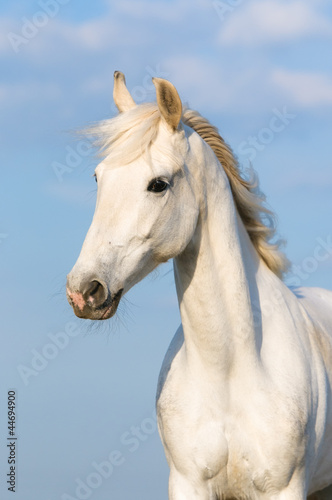 Foto op Canvas Paarden White Orlov trotter horse portrait on the sky background