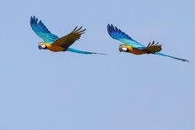 Macaws In Flight 4