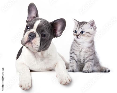 Deurstickers Franse bulldog Cat and dog, British kitten and French Bulldog puppy
