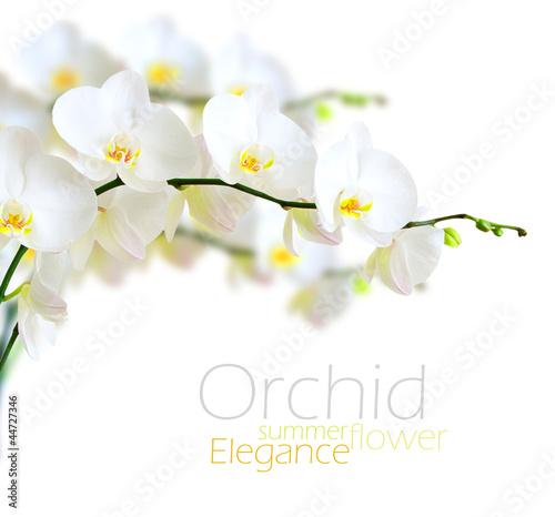 Papiers peints Orchidée White orchid