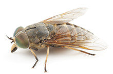Live Horsefly Isolated On Whit...