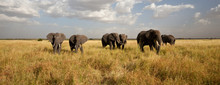 Elephant Herd On The Move: Wal...