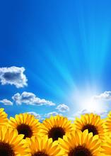 Sunflowers. Blue Sky, Clouds, Sun And Sunrays.