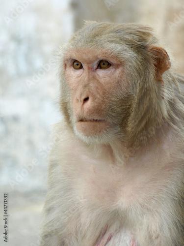 In de dag Portrait of monkey from india, summer 2011