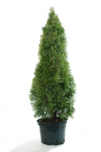Beautiful Thuja (Thuja Occ. Smaragd)on White Background