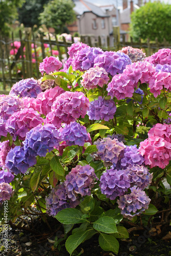 Photo sur Toile Hortensia Beautiful hydranges in the garden