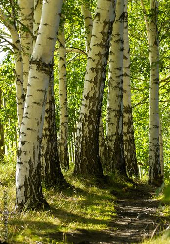 Deurstickers Berkbosje Trail in the forest with birch trees