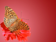 Butterfly (Silver-washed Fritillary) On Flower