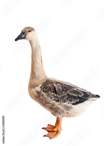 Fotografia Goose. Close-up. isolated