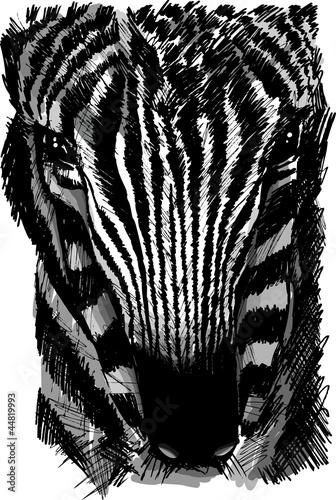 szkic-glowy-zebry