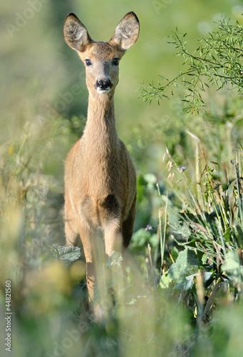 Fotobehang Ree roe deer