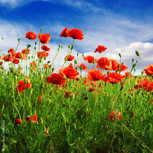Poster Poppy poppies on green field