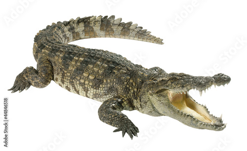 Tuinposter Krokodil Crocodile isolated on white background