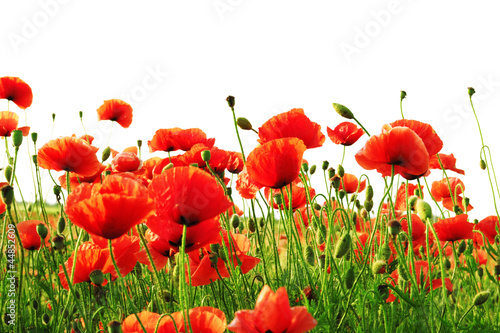 red poppy isolated on white background - 44852609