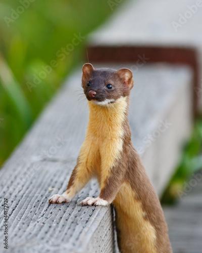 Foto  Weasel