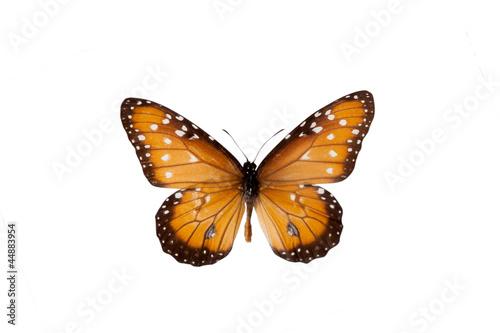 Fotografie, Obraz  Danaus. Butterfly. Isolated on white background