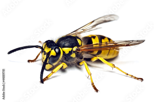 live wasp isolated on white Canvas-taulu